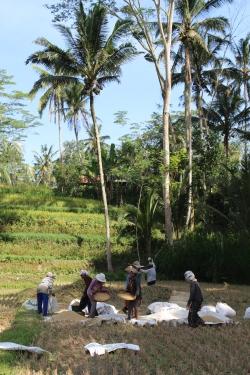 Les rizière autour d'Ubud