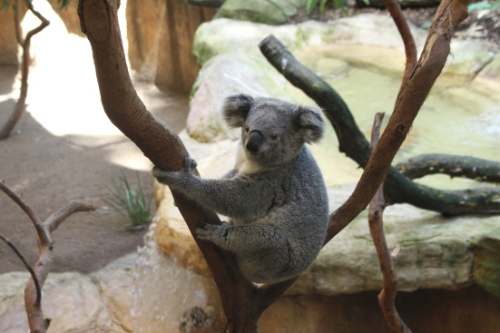 aus - blackbett - les koalas (1)
