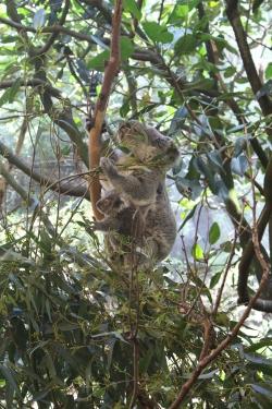 Aus - BlackBett - Les Koalas (5)
