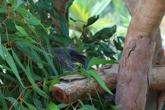 Aus - Road trip - J4 - Koalas