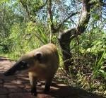 Arg – Iguazu – Coati(1)