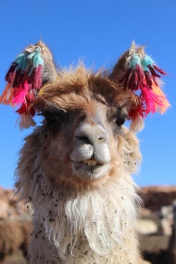 Bol - Tour Salar - J2 - Lamas (3)