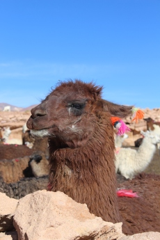 Bol - Tour Salar - J2 - Lamas (9)