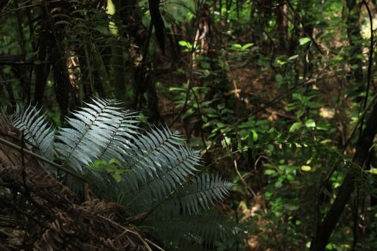 2018-02 - Tasman - Fougère Cyathea dealbata ou Silver fern