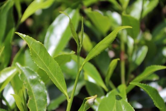 2018-04 - Nuwara Ellia - Pedro tea plantation (2)