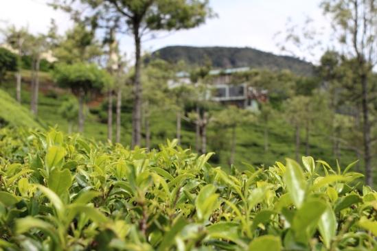 2018-04 - Nuwara Ellia - Pedro tea plantation (3)